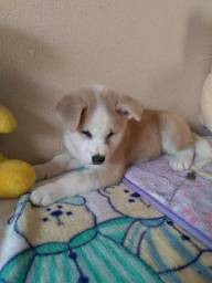 Akita Inu branco vermelho com garantia e pedigree