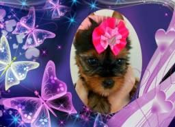 Filhotes de Yorkshire Terrier a venda