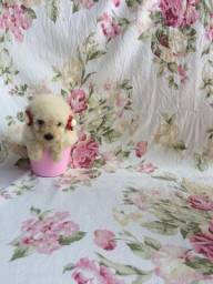 Poodle Micro Toy com 2 meses