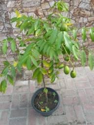 Pé de Cajá anão produzindo com frutos