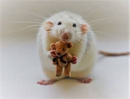 Vendo filhotes de ratinhos