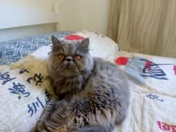 procuro gato puro para cruzar!