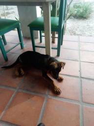 Vende se uma cachorra rotwally 3 meses