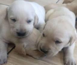 Filhotes de labrador para Reserva
