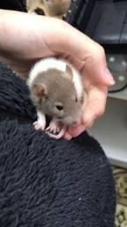 Filhotes desmamados de rato Twister, Mercol