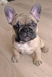 Filhotinhos de Bulldog Francês à pronta entrega com garantias!