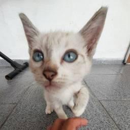 Gato Siamês para doação responsável