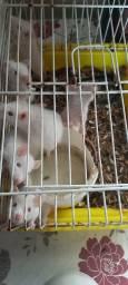 Título do anúncio: Ratos de laboratório