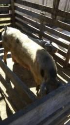 Porcos misturados e caipira,venda separado e o lote todo