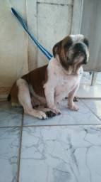 Bulldog ingles femea