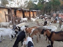 Cabras cabritos (nao sao de leite )