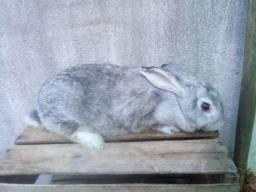 Coelhas adultas