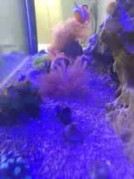 Coral Marinho Clóvis, Zoantus e green star polyps metalic