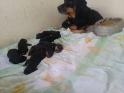 Filhotes de Rottweiler puríssimo