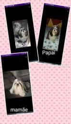 Vendo linda cachorrinha Shih Tzu pura fêmea