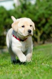 Filhotes de Labrador macho e fêmea a pronta entrega