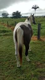 Garanhão Paint horse