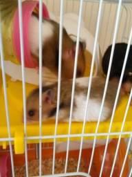 Vende-se filhotes de hamster panda tricolor