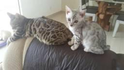 Linda filhotinha de gato Bengal Silver com pedigree