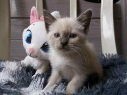 Siames Lindos gatinhos :)