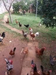 Vendo galos, galinhas e pintinhos