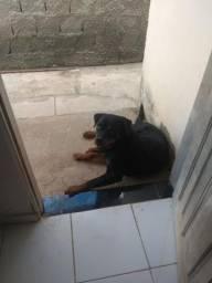 Cão rottweiler