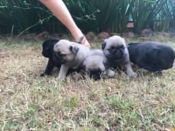 Filhotes de Pug Abricot e Pretos
