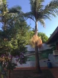 Palmeira Real, Palmito Jussara e Palmeira Açaí