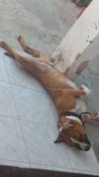Cachorro Pitbull Rednose