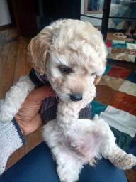 Cachorrinho  filhote 3 meses