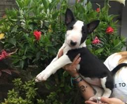 Bull Terrier lindos filhotinhos * Carol Sahara