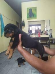 Rottweiler alto padrão