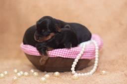 York shire Terrier - Raça pura 1 macho disponível