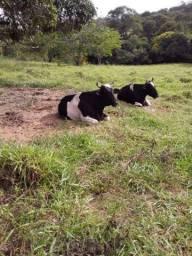 Vendo boi carreiro