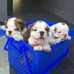 Filhotinhos de Bulldog Inglês à pronta entrega com garantias!