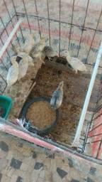 Filhotes de peru 1 mês