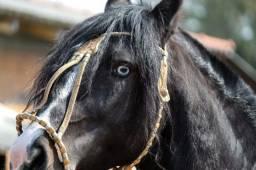 Cobertura de Cavalo Crioulo