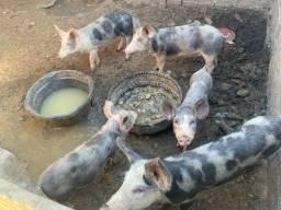 Vendo 5 porcos