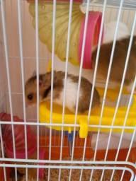 Vende - se filhotes de hamster panda