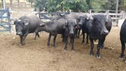 Búfalas excelente genética leiteira