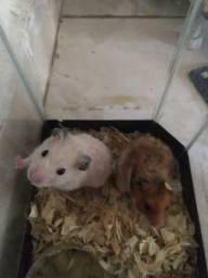 Hamsters sirios (por favor leia a descrição)