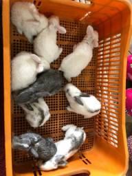 Vendo filhotes de coelho gigante
