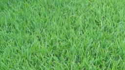 Gramas verdes de Qualidade