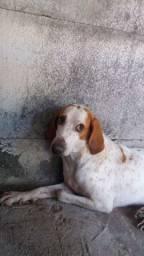 Vendo Foxhound-americano cor white & cream