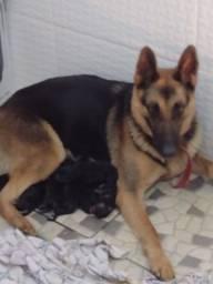 Vendo filhotes de pastor alemão manto negro
