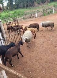 Título do anúncio: Lote de 10 carneiros