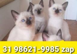 Título do anúncio: Gatil em BH Filhotes Perfeitos de Gatos Siamês Persa ou Angora