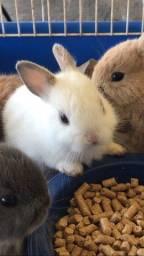 Título do anúncio: coelhos mini