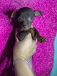 Título do anúncio: Pinscher com pedigree pronta entrega !!!