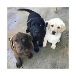 Labrador, fêmeas e machinhos, já vacinados e com todas as garantias em contrato.